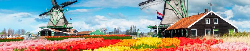 wiatraki i tulipany w Holandii
